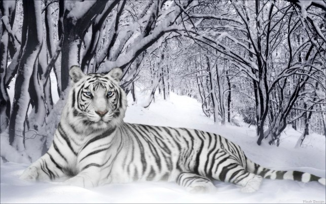 White Tiger, savers wallpapers and stock photos