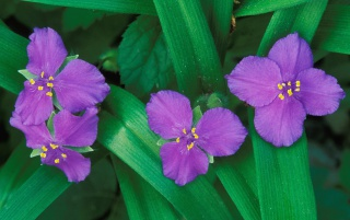 Spiderwort Flowers wallpapers and stock photos