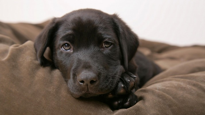 Labrador puppy, dog, animal, animals wallpapers and stock photos