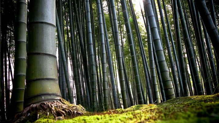 Bamboo Tree, forest wallpapers and stock photos
