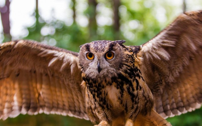 Flying owl, bird, animal, animals wallpapers and stock photos