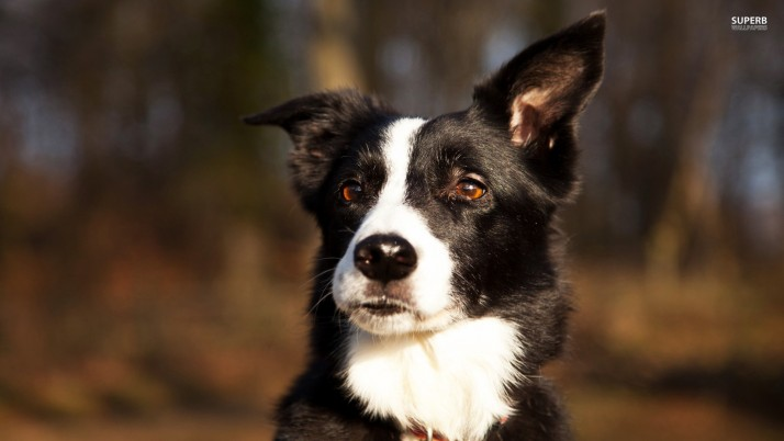 Border Collie, dog, animal, animals wallpapers and stock photos