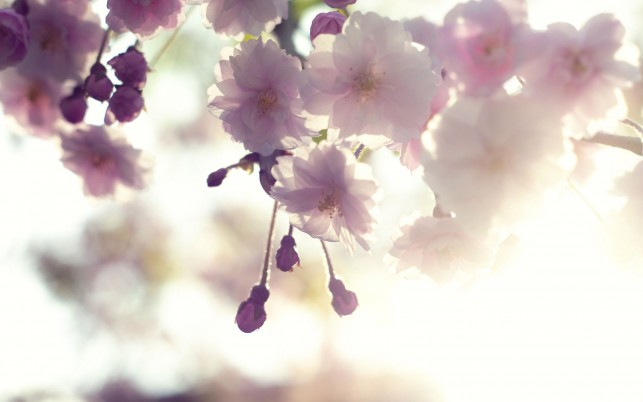 Pink cherry blossom, light, flower, flowers wallpapers and stock photos