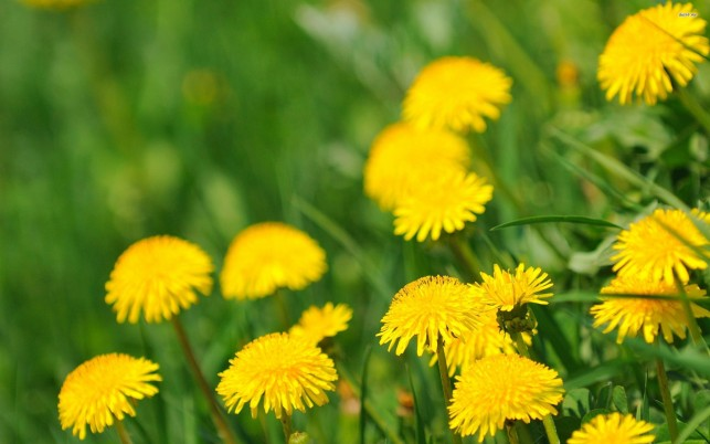 Dandelions, flower, flowers wallpapers and stock photos