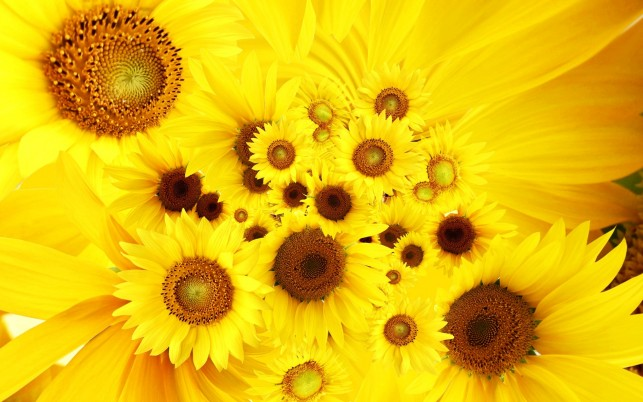 Sunflower, circle, sunflowers wallpapers and stock photos
