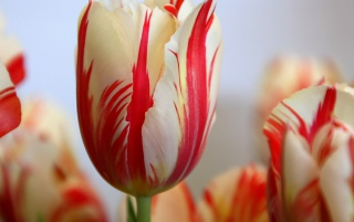 Red Striped Tulip wallpapers and stock photos
