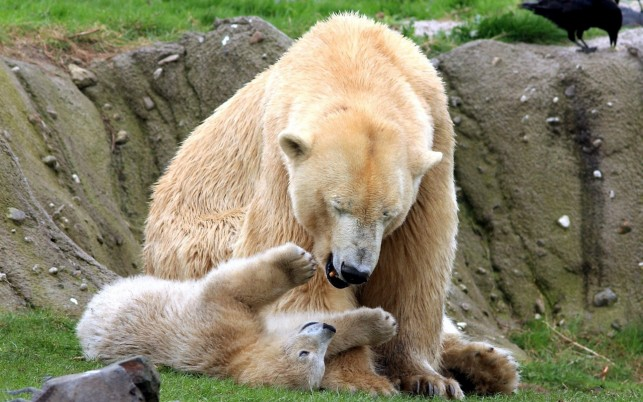 Previous: Polar Bear playing with its cub, animal, animals