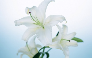 Lily wallpapers and stock photos