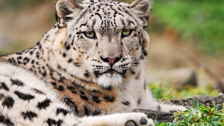 White Leopard wallpapers and stock photos