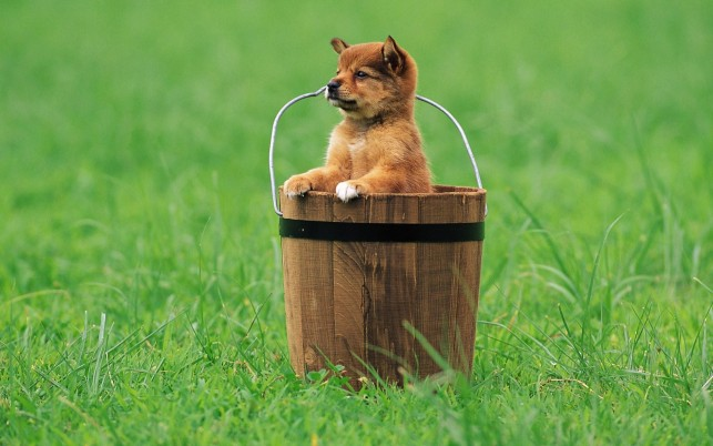 Puppy in a bucket, dog, animal, animals wallpapers and stock photos
