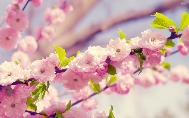 Cherry blossoms, flower, flowers wallpapers and stock photos
