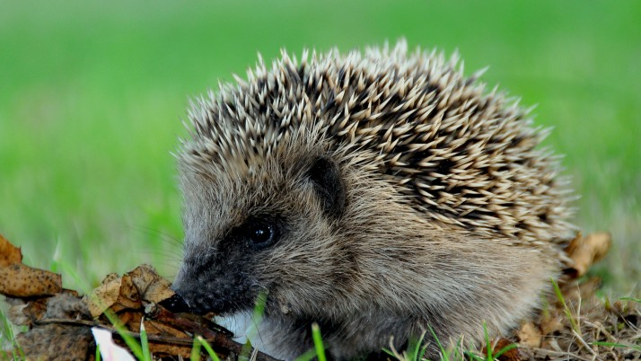 Hedgehog, animals wallpapers and stock photos