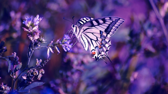 Purple Butterfly, resolution, photo wallpapers and stock photos