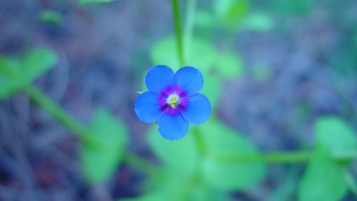 Small Blue Flowers wallpapers and stock photos