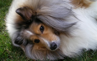 Random: Sheltie Dog