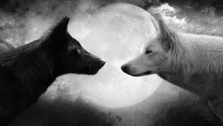 Black And White Wolf, cool wallpapers and stock photos