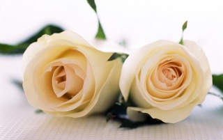 Pair of Roses wallpapers and stock photos
