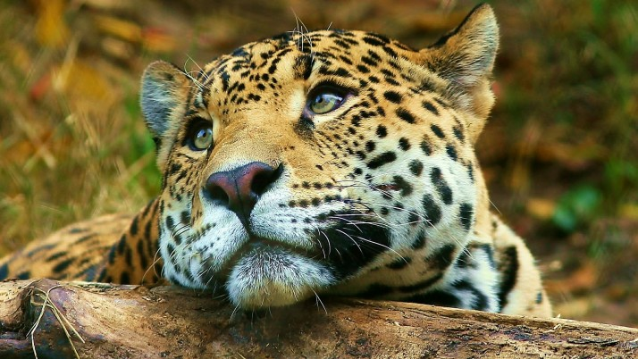 Leopard wallpapers and stock photos