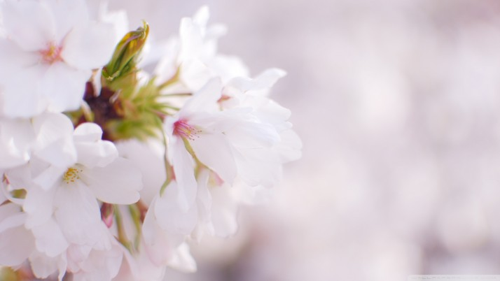 White Cherry Blossom wallpapers and stock photos