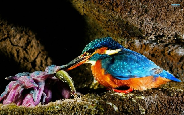 Malachite Kingfisher, bird, animal, animals wallpapers and stock photos