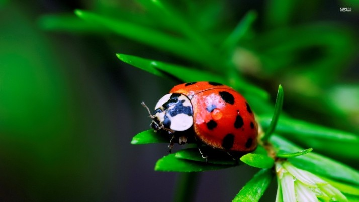 Ladybug, animals wallpapers and stock photos