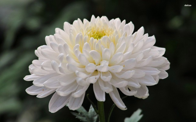 White Chrysanthemum, flower, flowers wallpapers and stock photos
