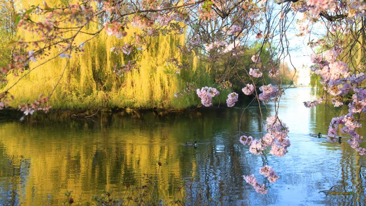 Next: Spring Pond, sakura, web, photo, blogger