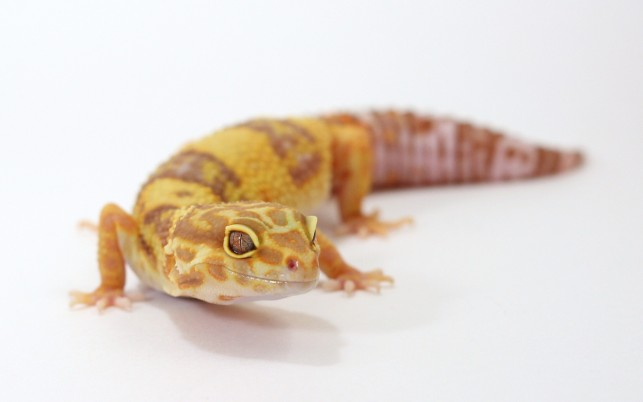 Albino Leopard Gecko,  fondos, reptile wallpapers and stock photos