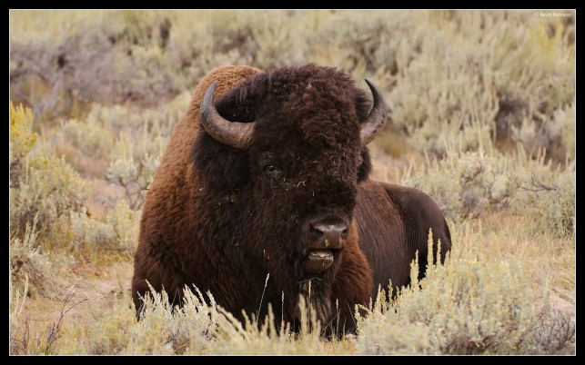 Buffalo, male wallpapers and stock photos