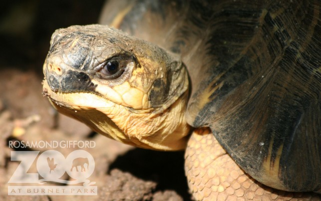 Next: Radiated Tortoise, reptiles