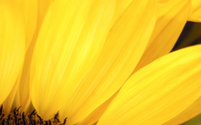Sunflower Petals, cool,  star, super wallpapers and stock photos