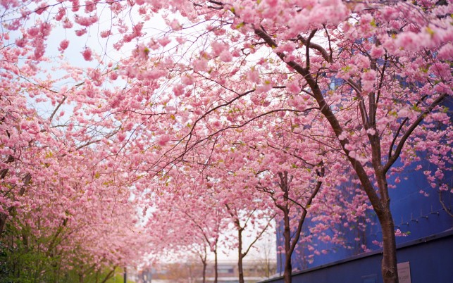 Cherry trees, blossom, nature wallpapers and stock photos