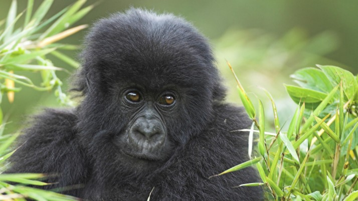 Baby Gorilla, wildlife, animals wallpapers and stock photos
