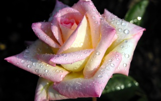 Rose Dew wallpapers and stock photos