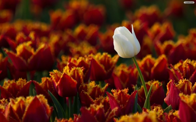 White Tulip Flower wallpapers and stock photos