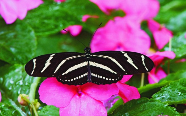 Zebra Butterfly, flower, pink, beautiful, insect wallpapers and stock photos