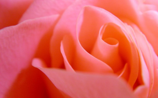 Pink rose, flower, flowers wallpapers and stock photos