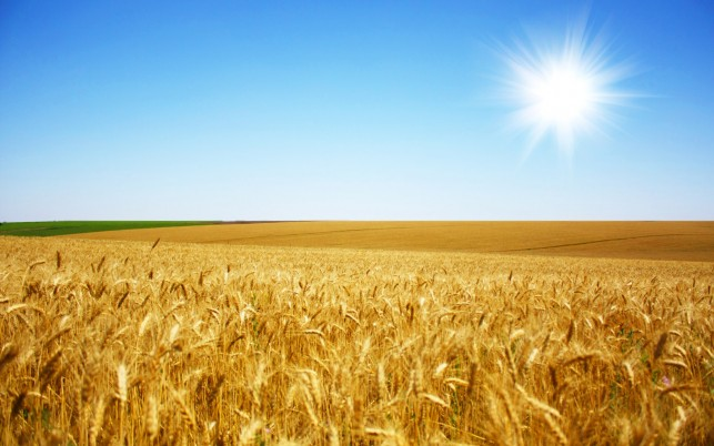 Beautiful Wheat, photography wallpapers and stock photos