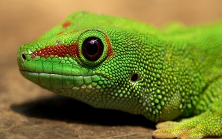Gecko wallpapers and stock photos