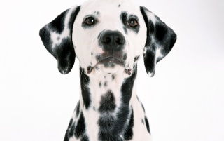 Dalmatian wallpapers and stock photos