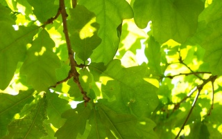 Green Oak Leaf wallpapers and stock photos