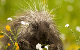 Porcupine wallpapers and stock photos