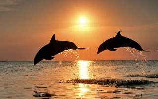 Bottlenose Dolphins wallpapers and stock photos