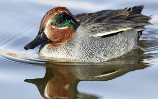 Green-Winged Teal wallpapers and stock photos