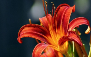 Red Lily wallpapers and stock photos