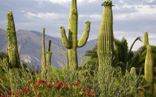 Saguaro Cacti wallpapers and stock photos