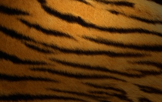 Details for the 'Tiger Skin' stock photo, free image