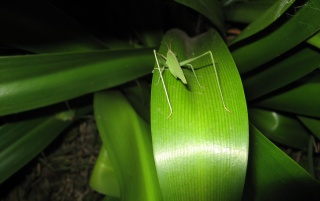 Previous: Great grasshoper