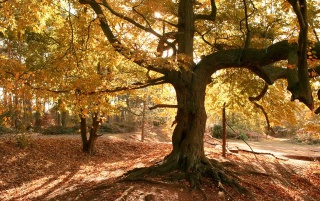 Old tree in autumn wallpapers and stock photos