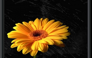 Gerbera wallpapers and stock photos
